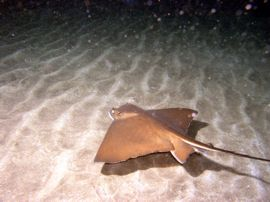 A night dive in the Arinaga marine reserve in Gran Canaria can bring Stingrays, angelsharks and much more.
