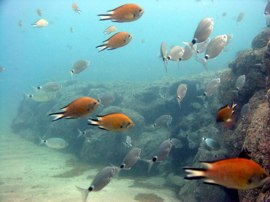 The smaller fish such as wrasse and damselfish add colour to the reef and make your dive in Gran Canaria remarkable