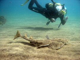 You can dive with the angelsharks in winter and spring, but we see less in summer and autumn