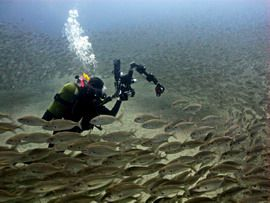 The shoal of grunts can be dived in the marine reserve