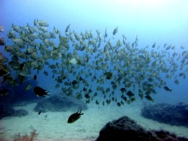 The shoal of grunts can make a dive unforgettable in Gran Canaria
