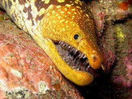 diving Canary Islands with Moray Eel