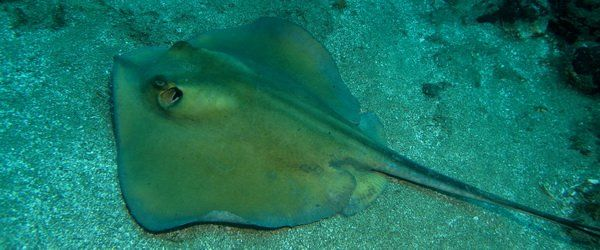 Common or Yellow Stingray in the Canary Islands and Arinaga scuba diving