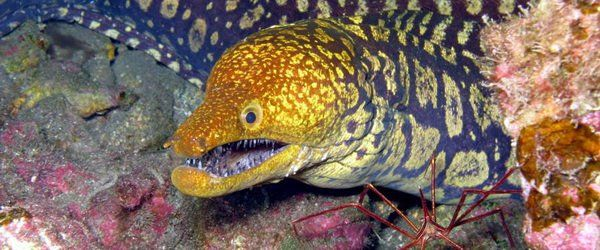 There are four types of moray eel in the Arinaga Marine Reserve, Gran Canaria