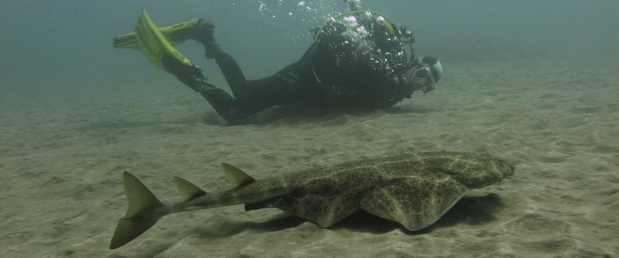 dive with angel sharks in gran canaria