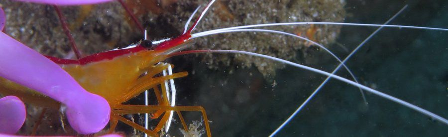 cleaner shrimp gran canaria
