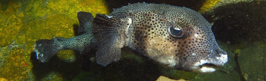 gran canaria dive with spiny pufferfish